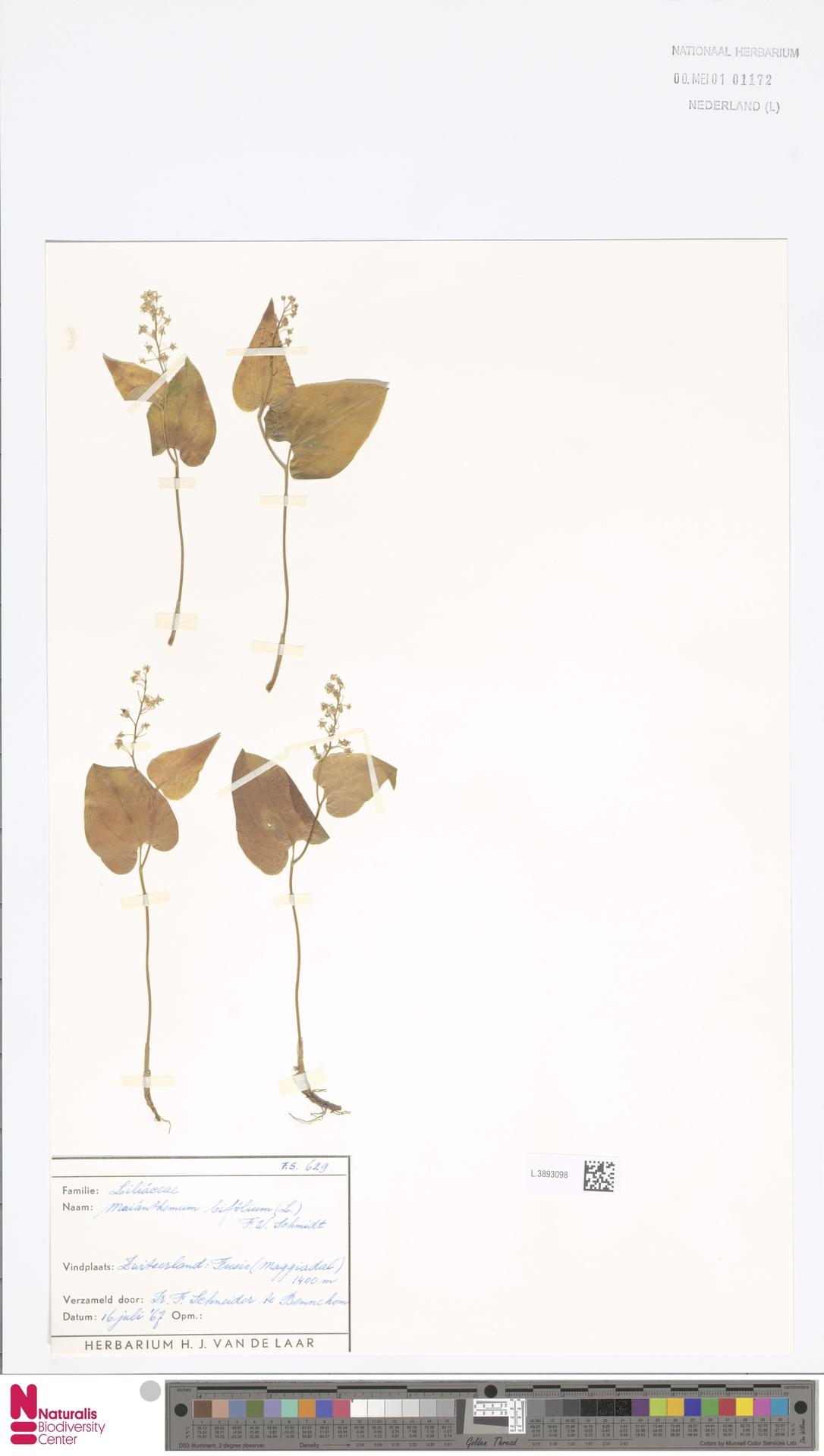 L.3893098 | Maianthemum bifolium (L.) F.W.Schmidt