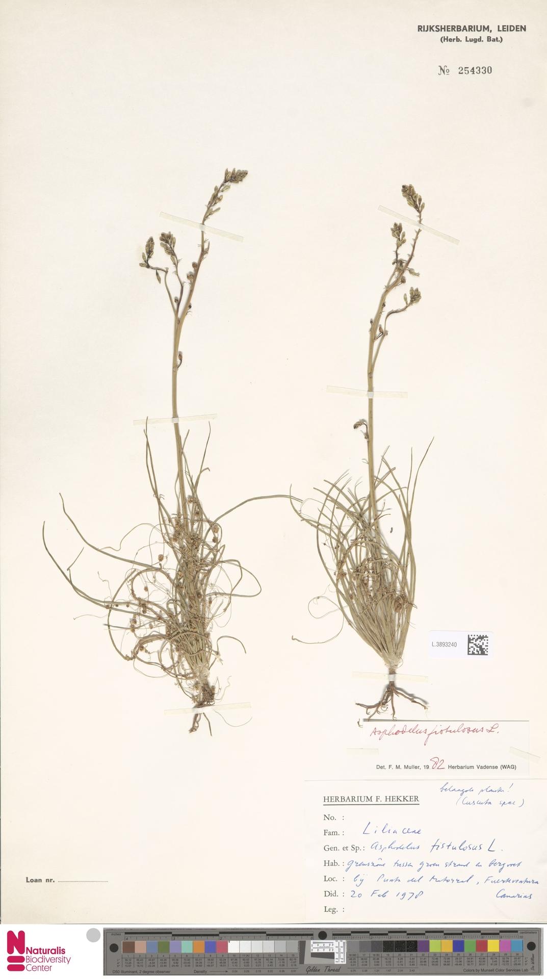 L.3893240 | Asphodelus fistulosus L.
