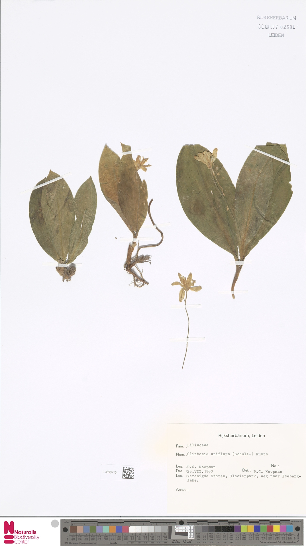 L.3893715 | Clintonia uniflora Kunth