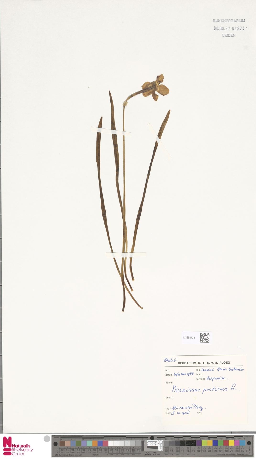L.3893733 | Narcissus poeticus L.