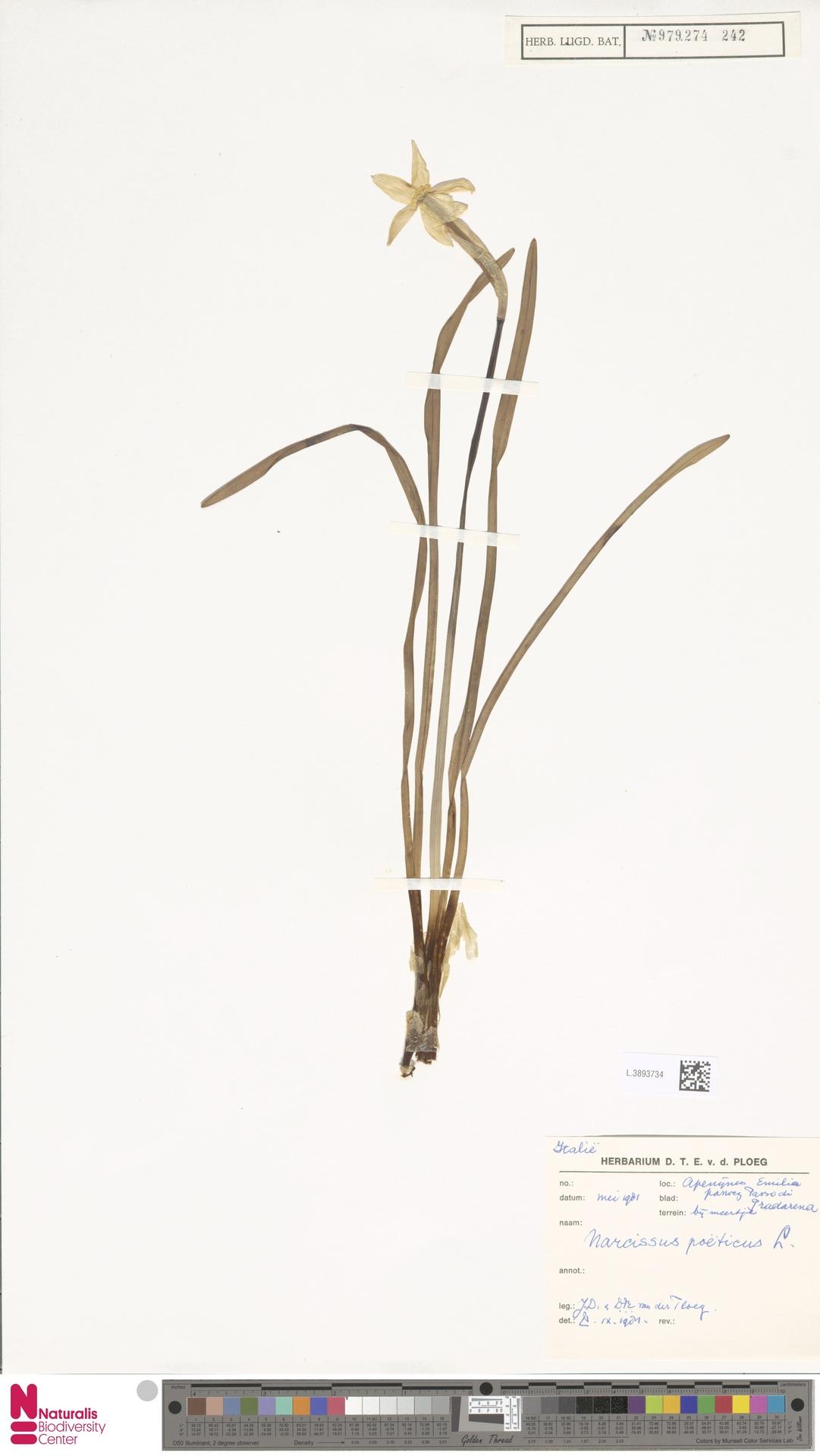 L.3893734   Narcissus poeticus L.