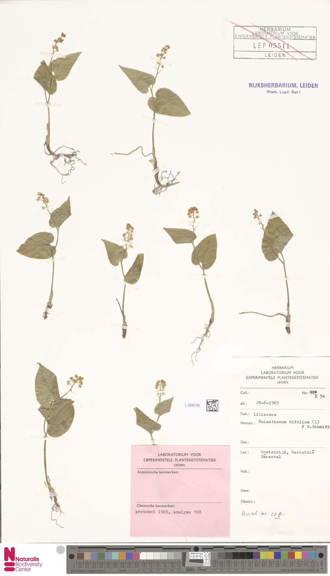 L.3893795 | Maianthemum bifolium (L.) F.W.Schmidt