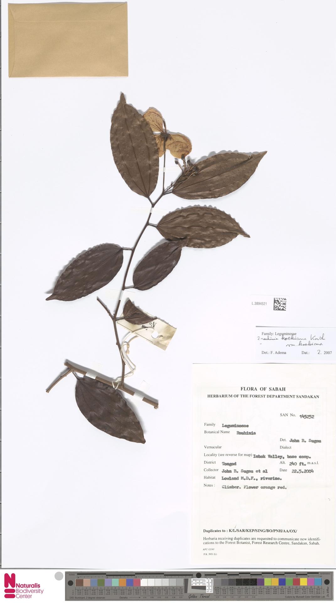 L.3894521   Bauhinia kockiana var. kockiana