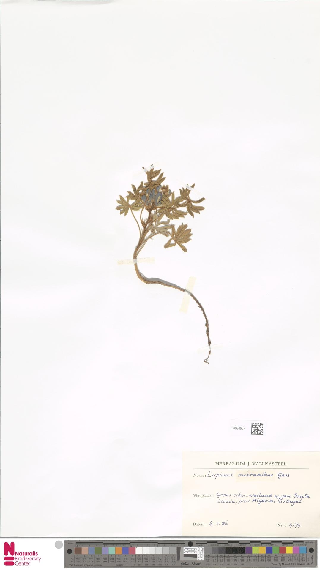 L.3894607 | Lupinus micranthus Guss.
