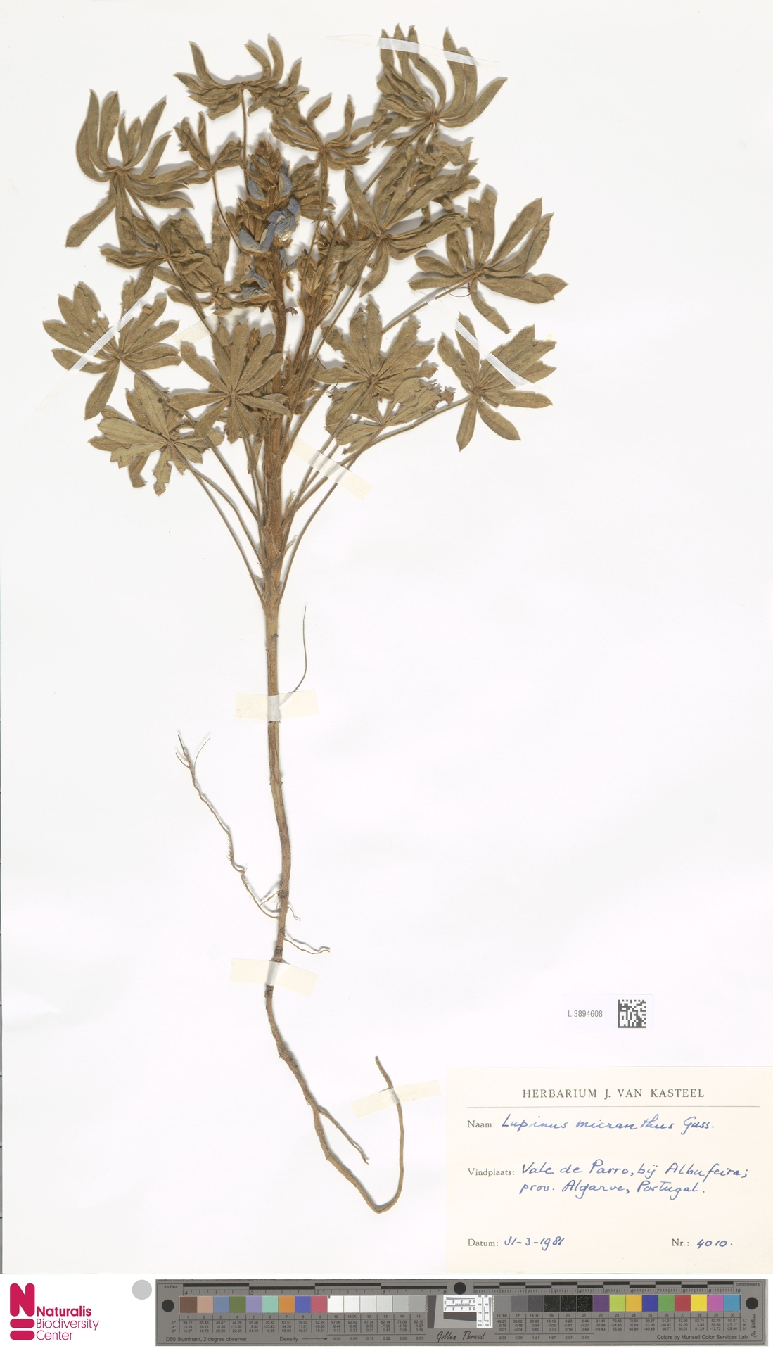 L.3894608 | Lupinus micranthus Guss.