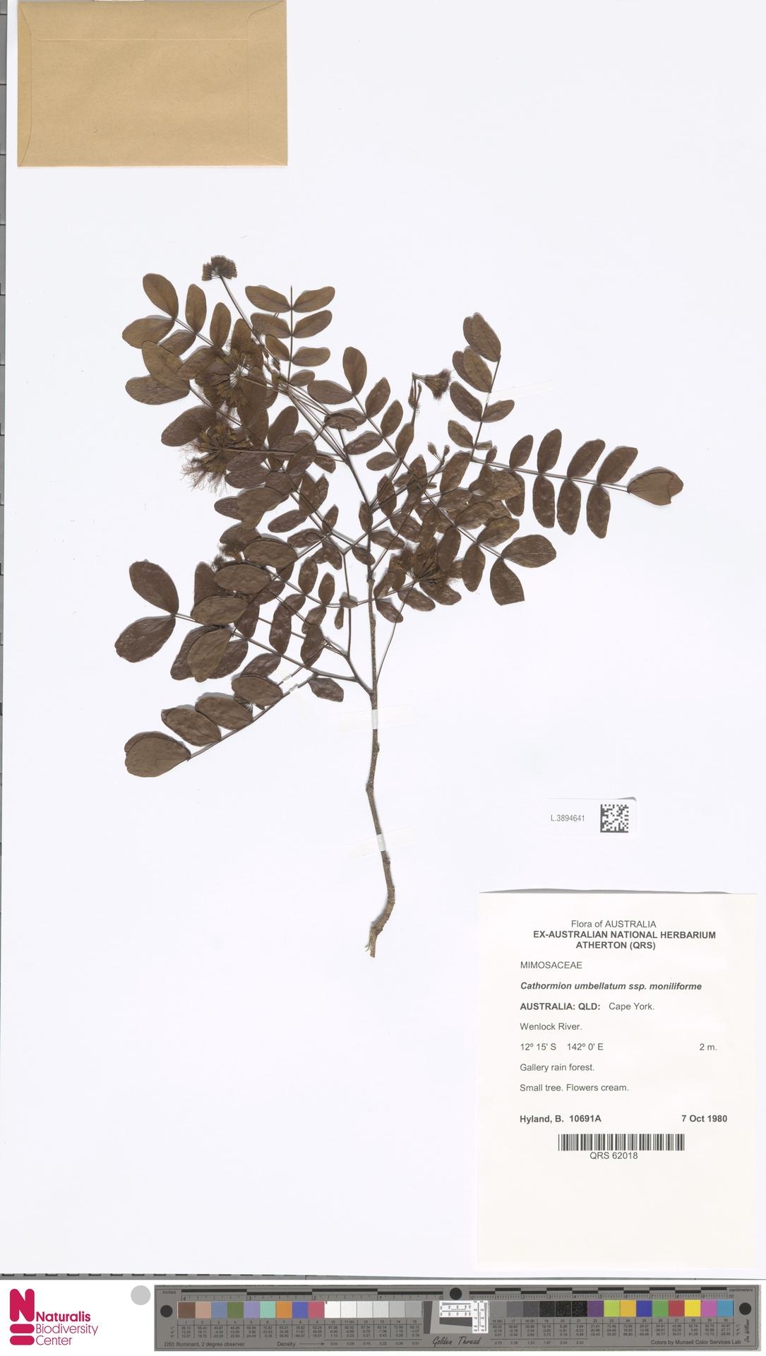 L.3894641 | Cathormion umbellatum subsp. moniliforme (DC.) Brummitt