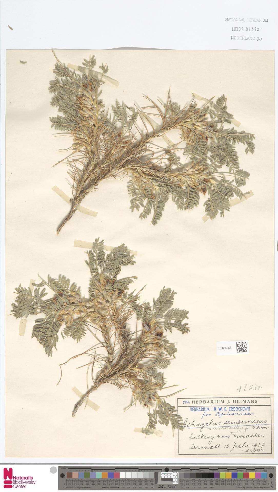 L.3895082 | Astragalus sempervirens Lam.
