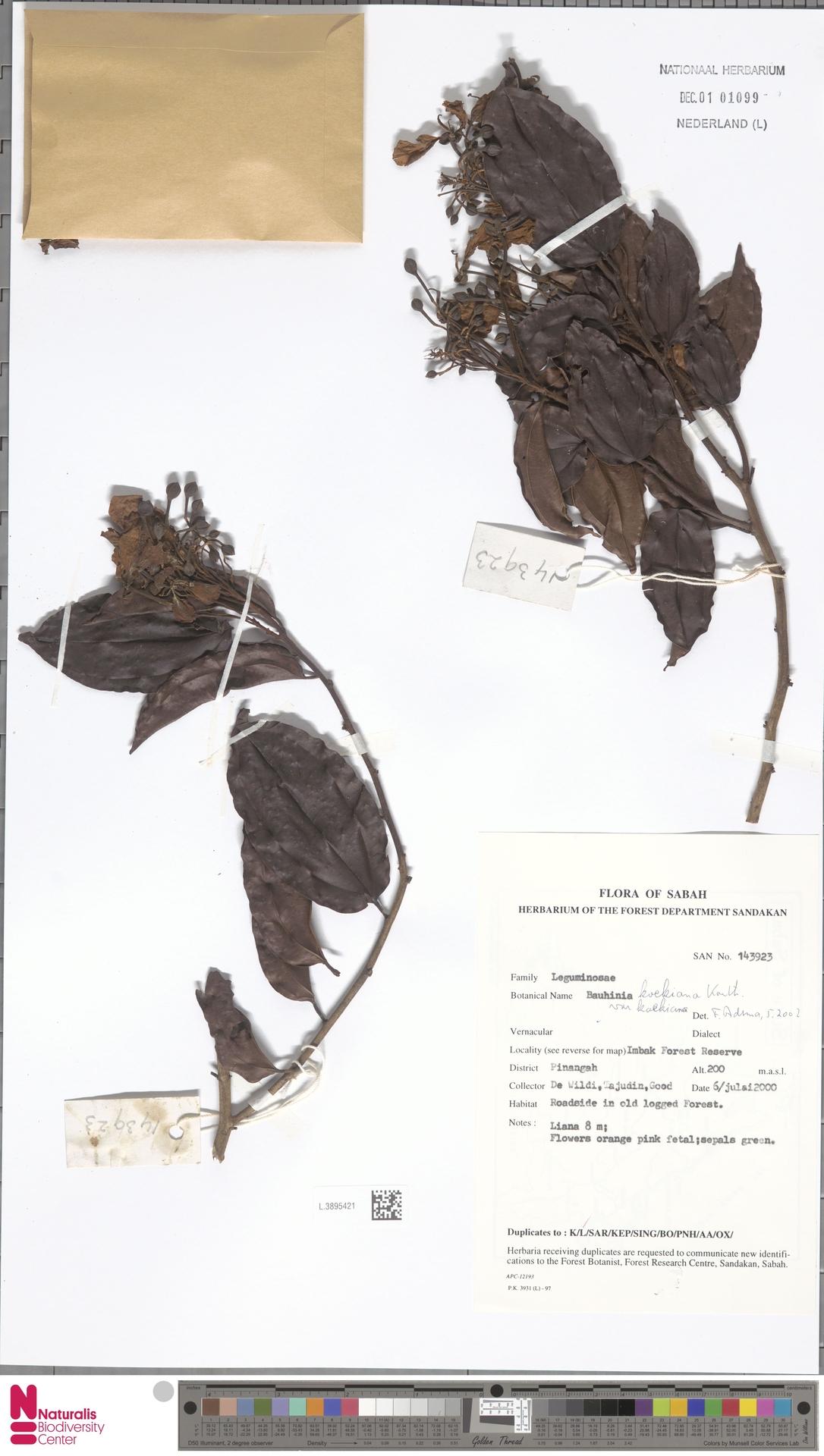 L.3895421 | Bauhinia kockiana var. kockiana