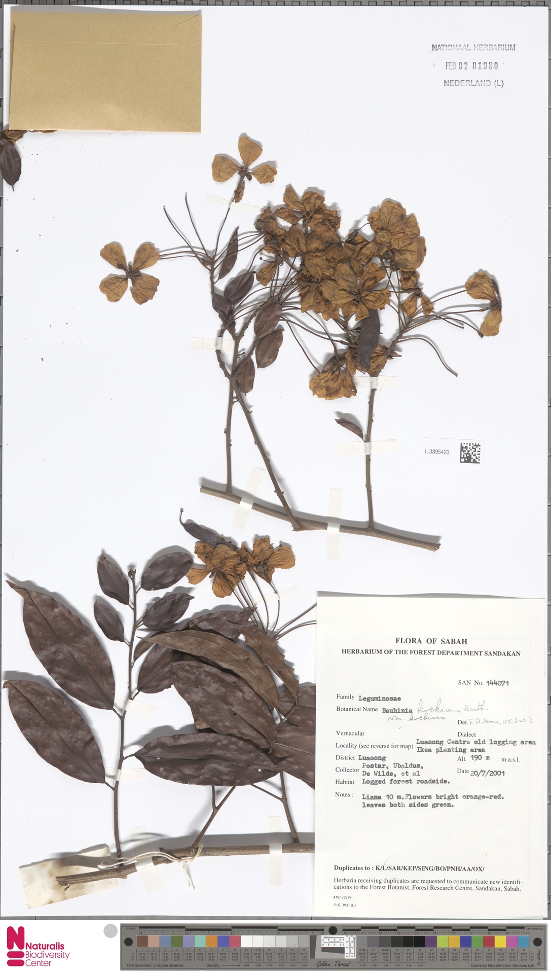 L.3895423 | Bauhinia kockiana var. kockiana