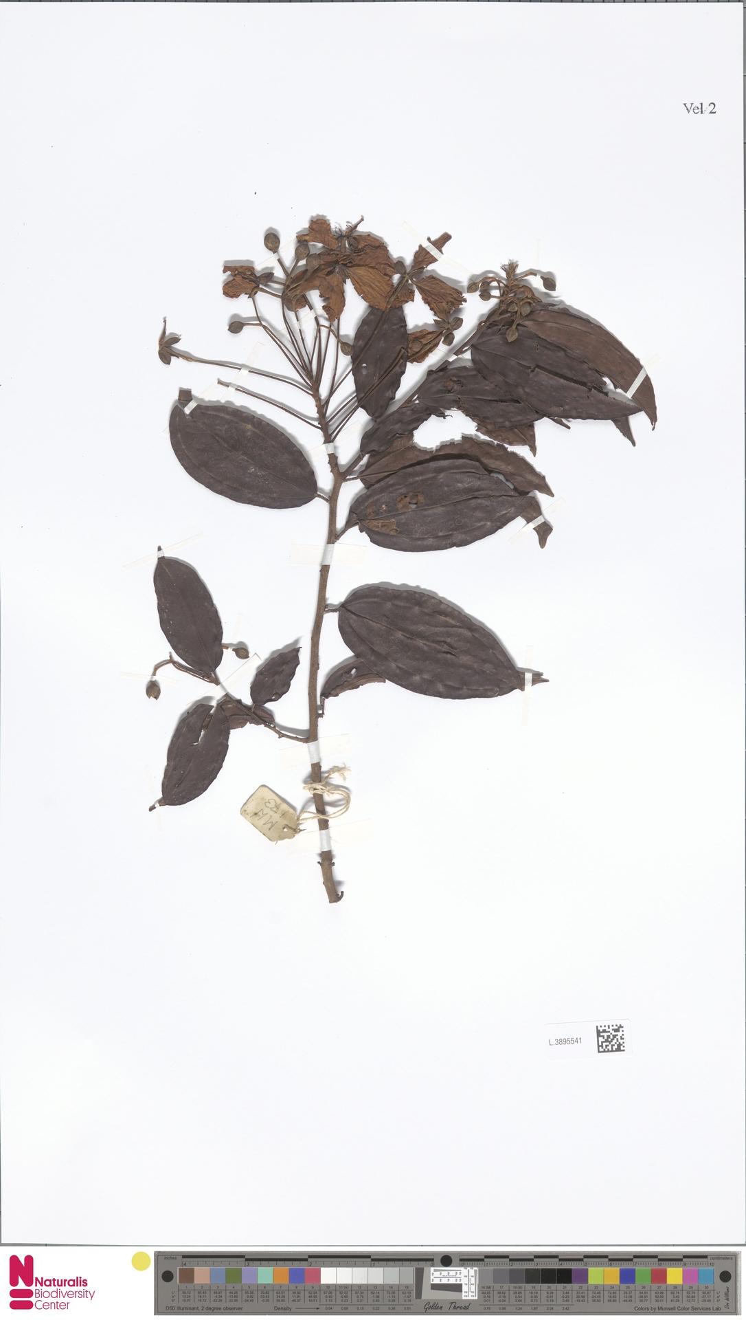L.3895541 | Bauhinia kockiana var. kockiana