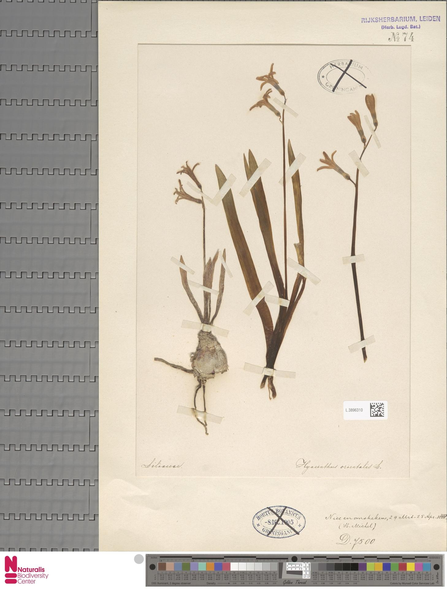 L.3896310 | Hyacinthus orientalis L.