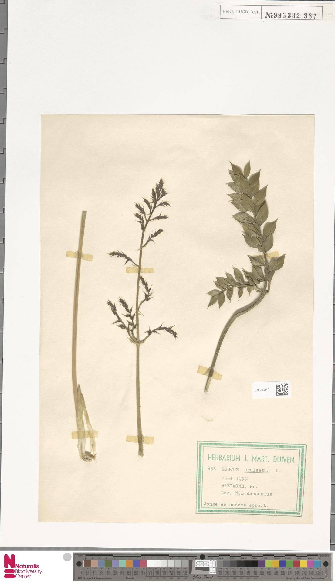 L.3896340 | Ruscus aculeatus L.