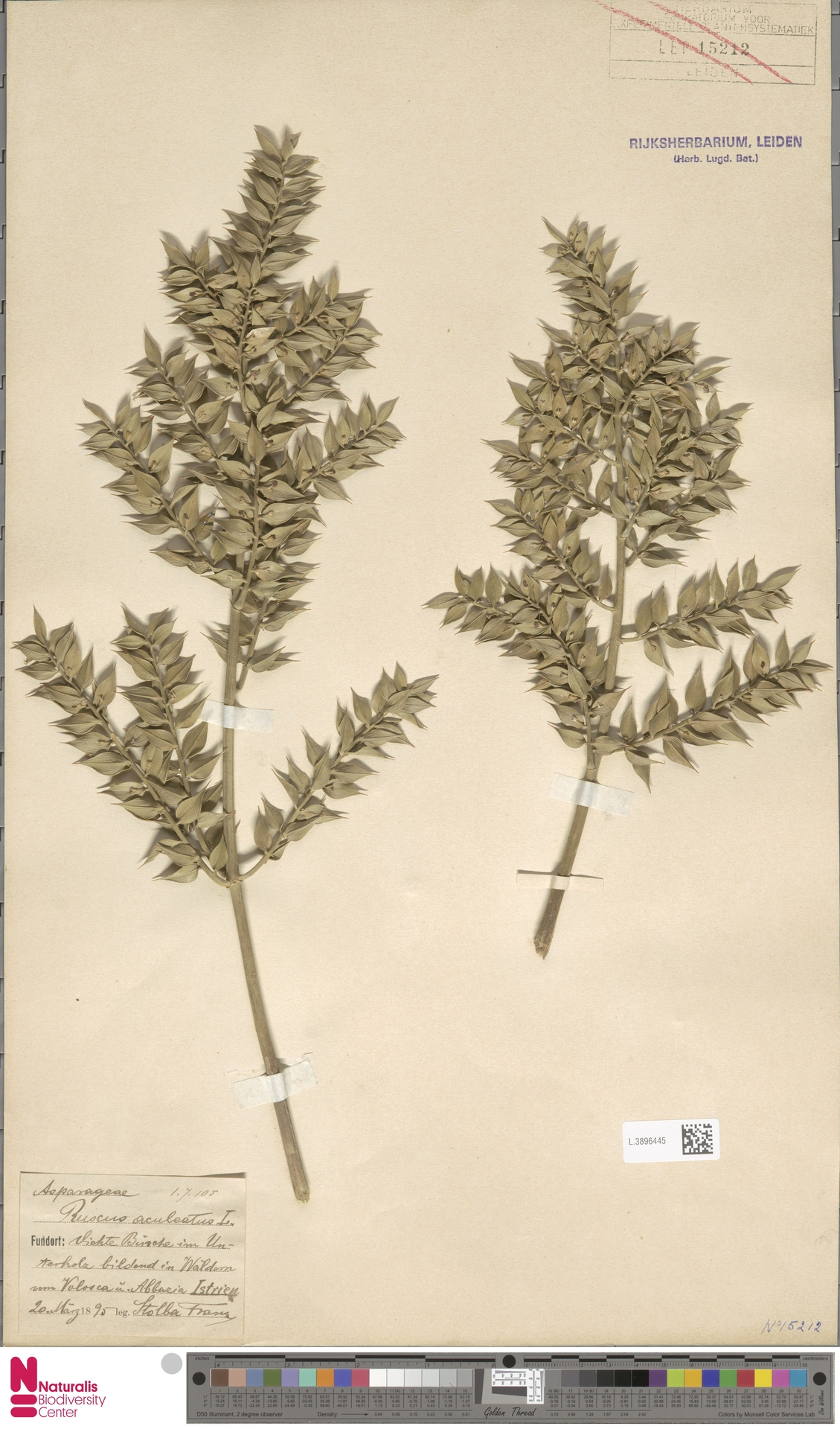 L.3896445 | Ruscus aculeatus L.