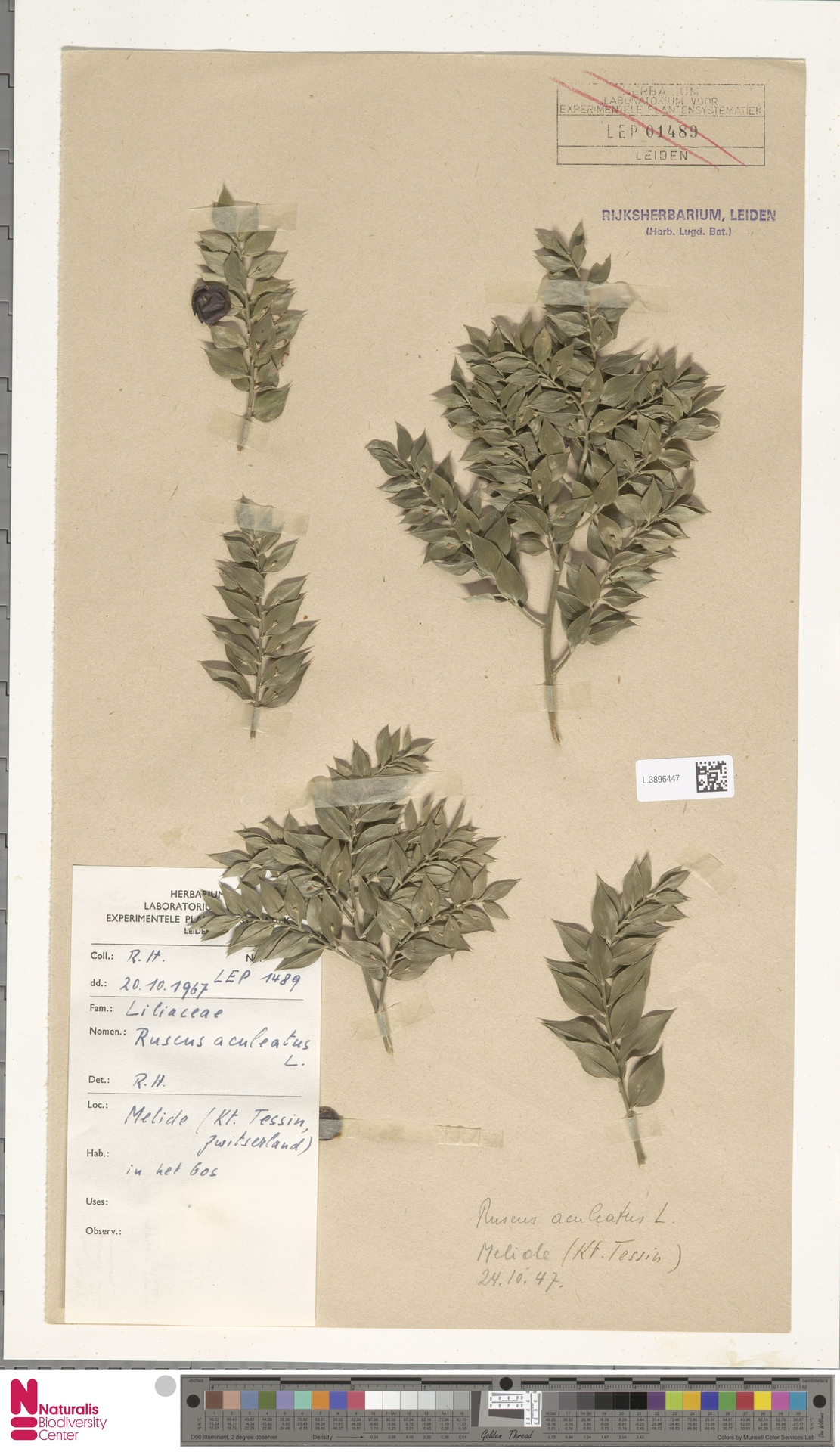 L.3896447 | Ruscus aculeatus L.