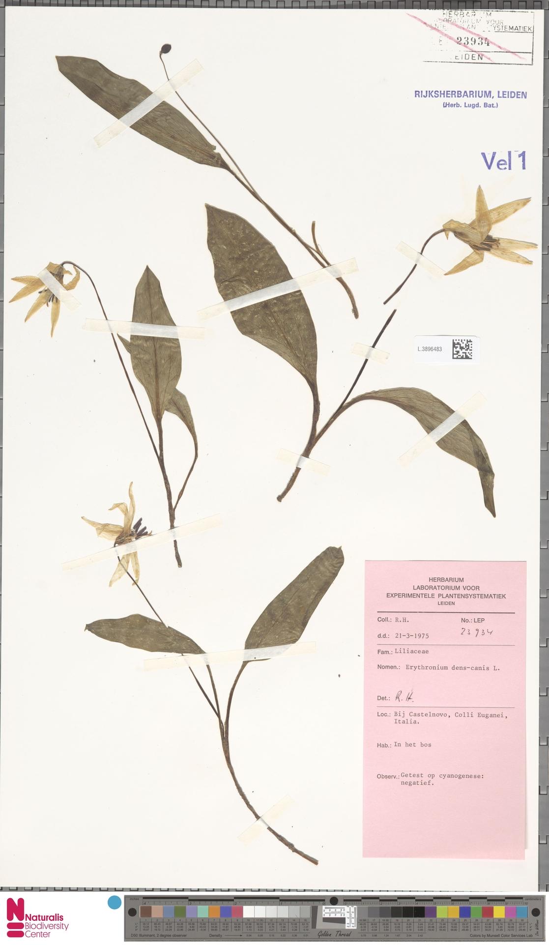 L.3896483   Erythronium dens-canis L.