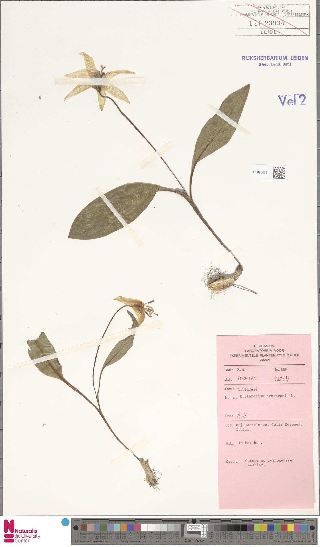 L.3896484 | Erythronium dens-canis L.