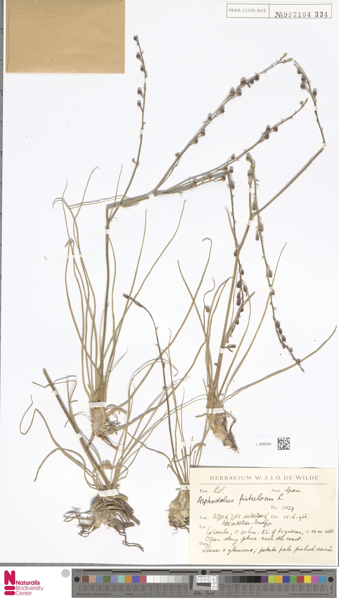 L.3896594 | Asphodelus fistulosus L.