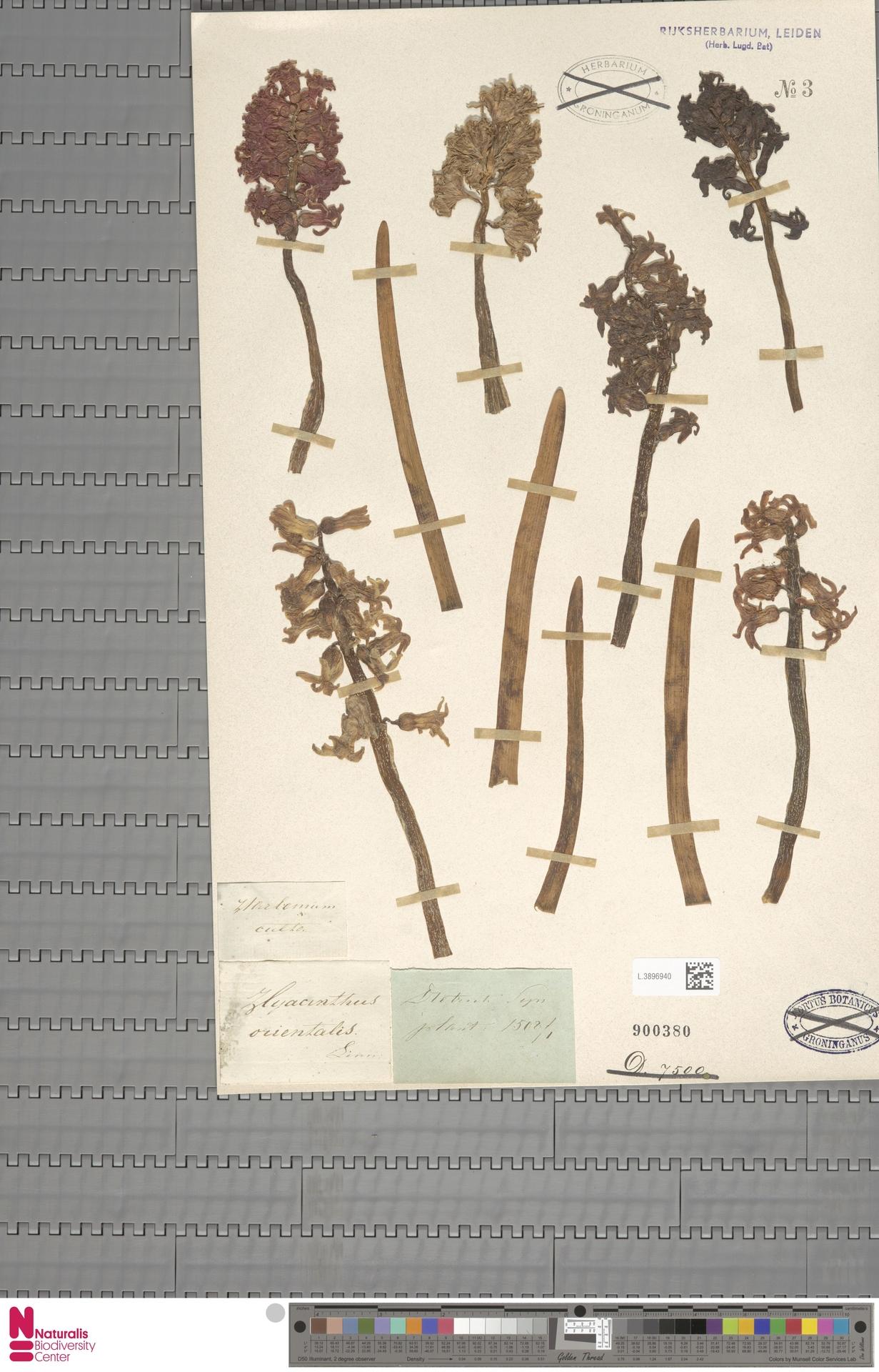 L.3896940 | Hyacinthus orientalis L.