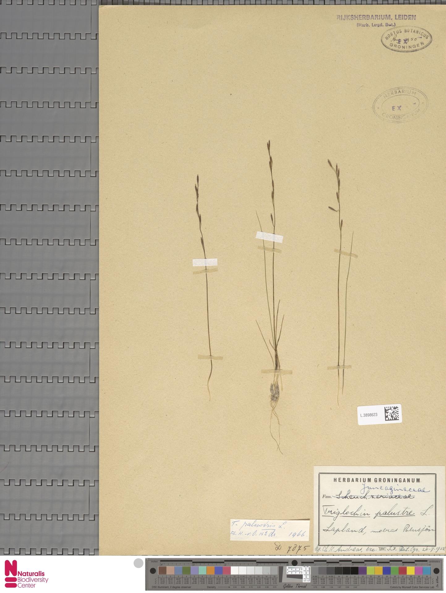 L.3898623 | Triglochin palustris L.