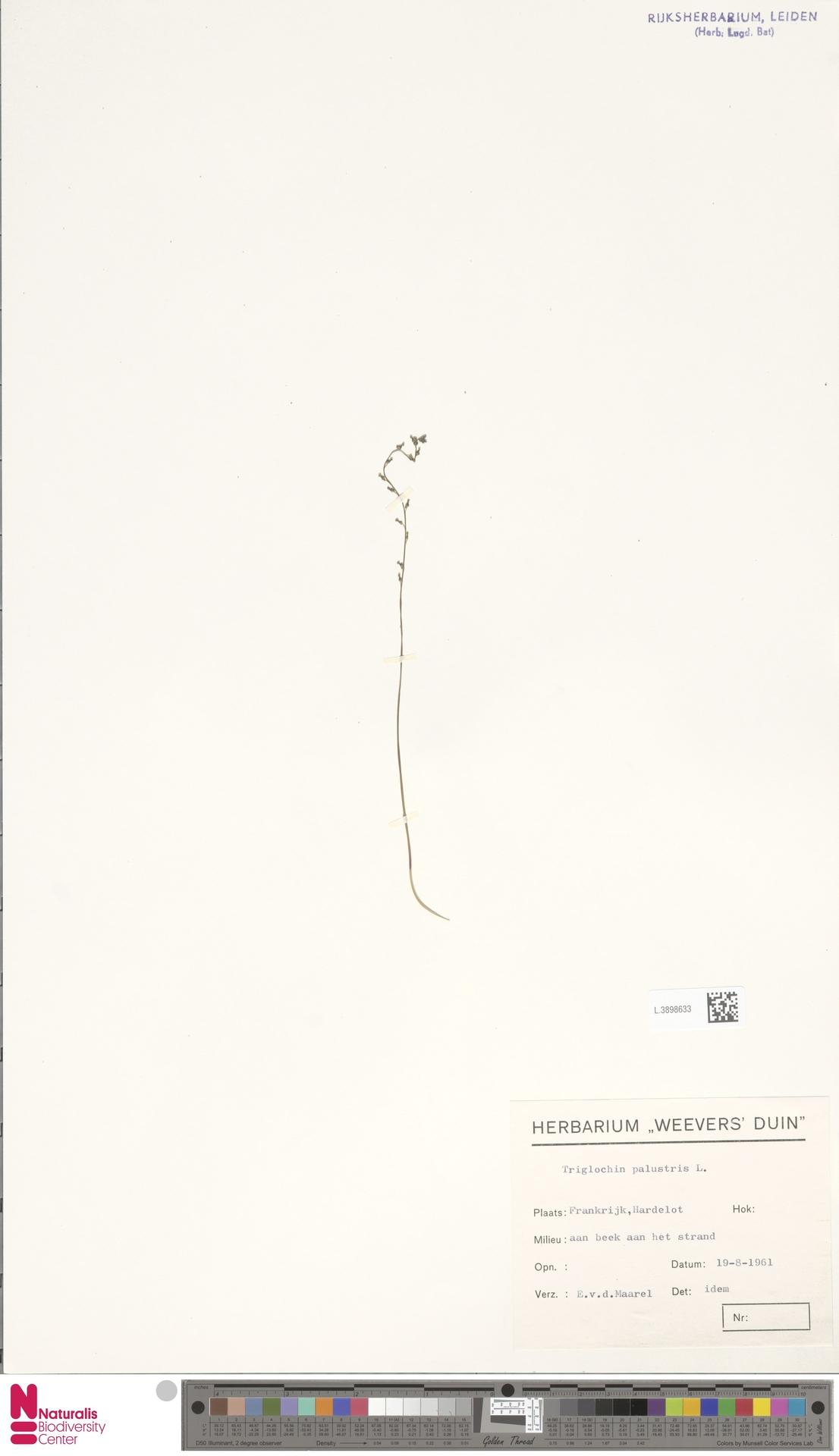 L.3898633 | Triglochin palustris L.