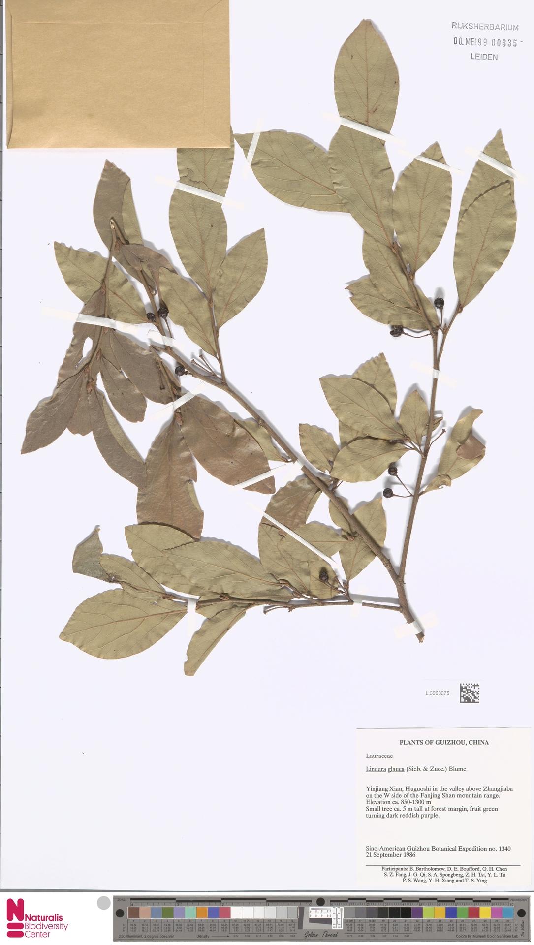L.3903375 | Lindera glauca Blume