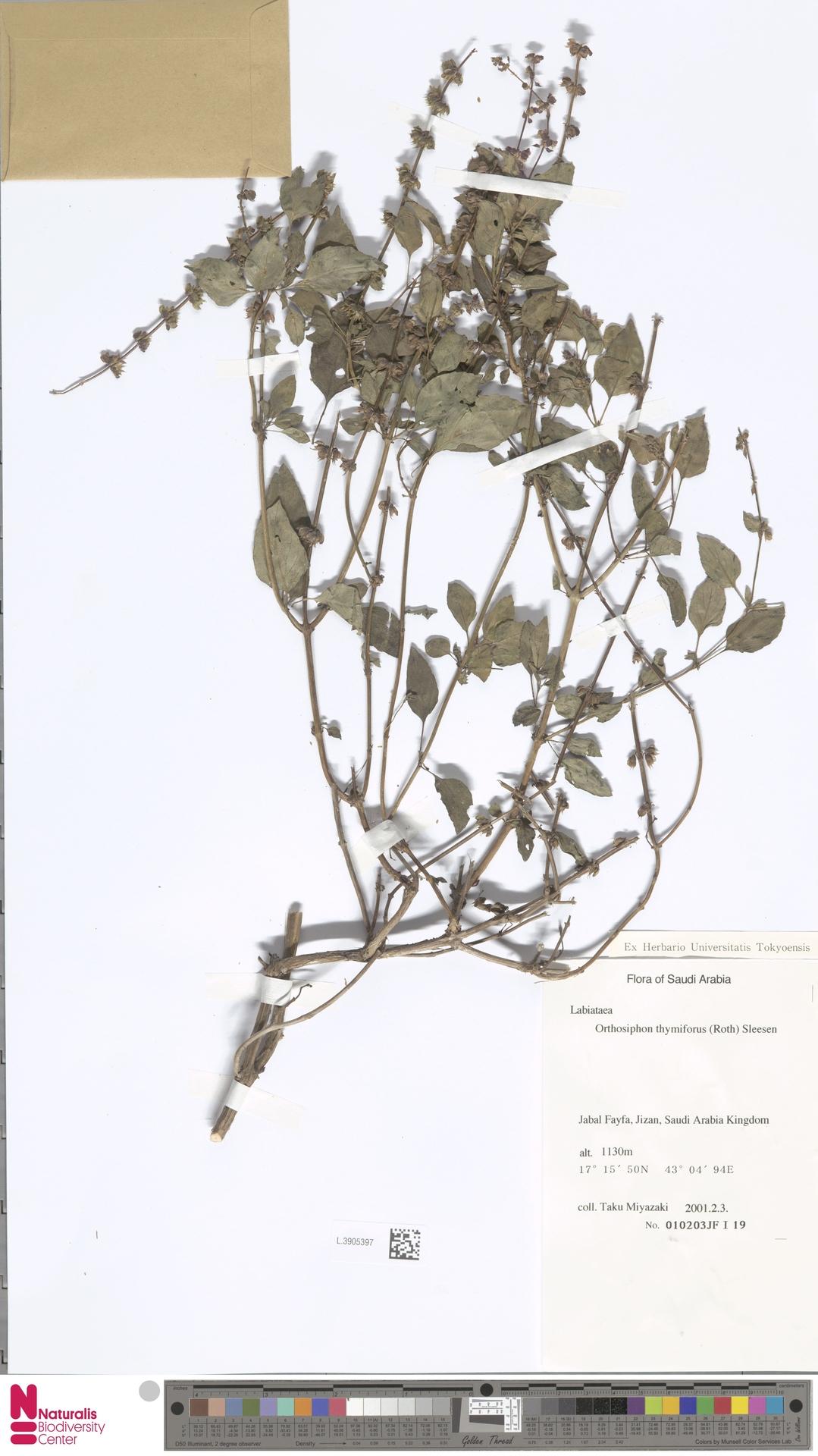 L.3905397 | Orthosiphon thymiflorus (Roth) Sleesen