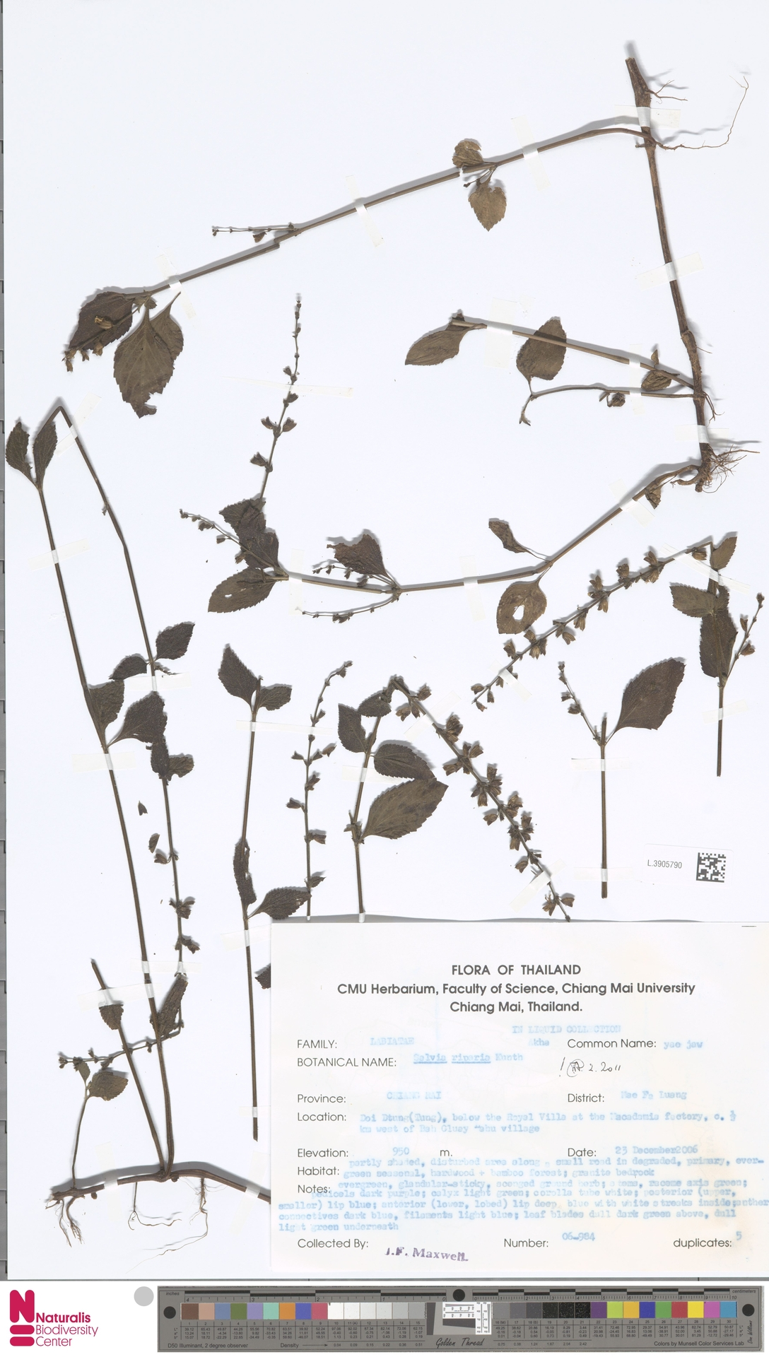 L.3905790 | Salvia riparia Kunth