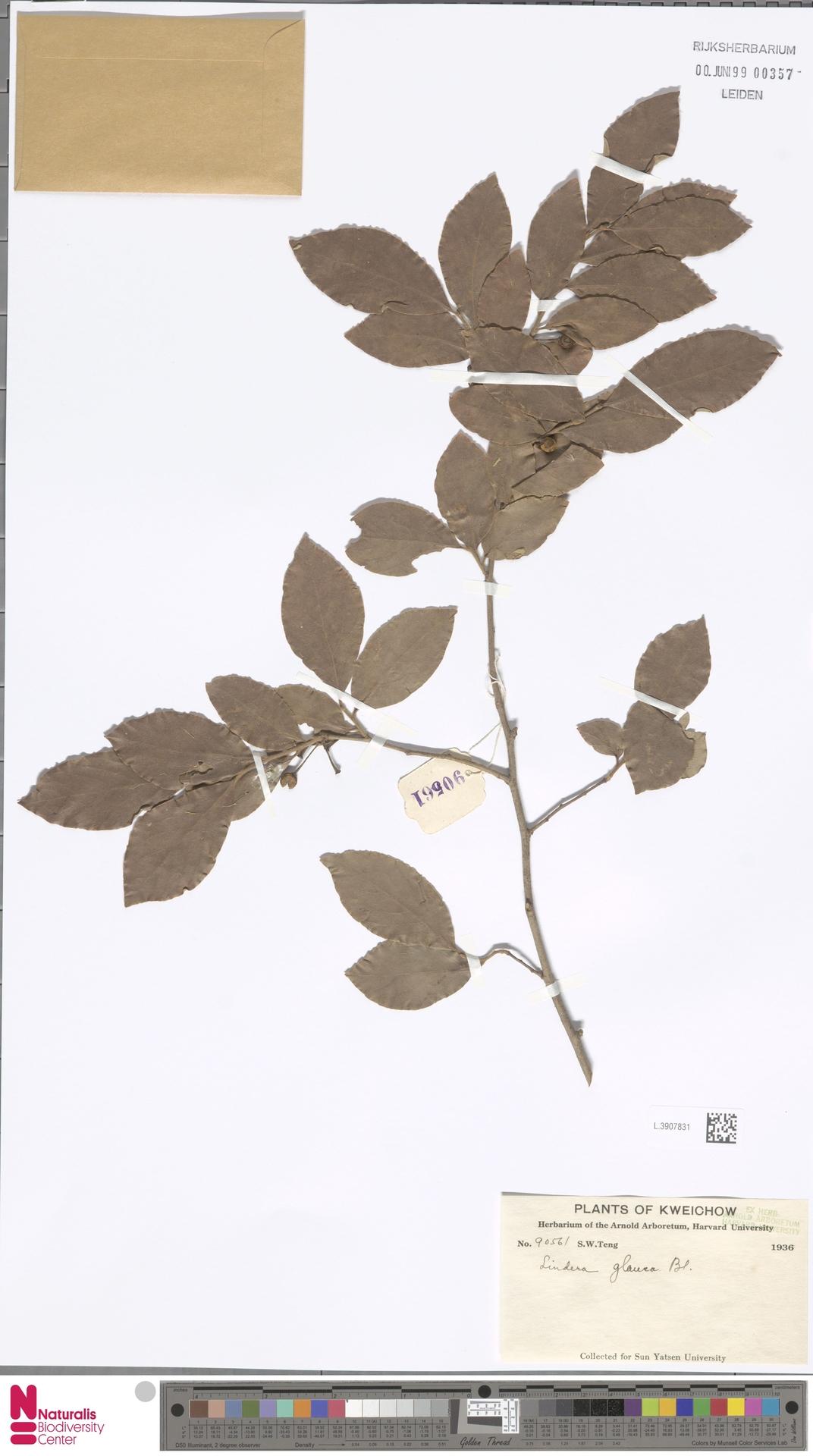 L.3907831   Lindera glauca Blume