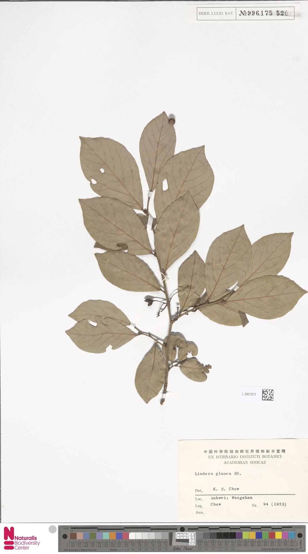 L.3907872 | Lindera glauca Blume