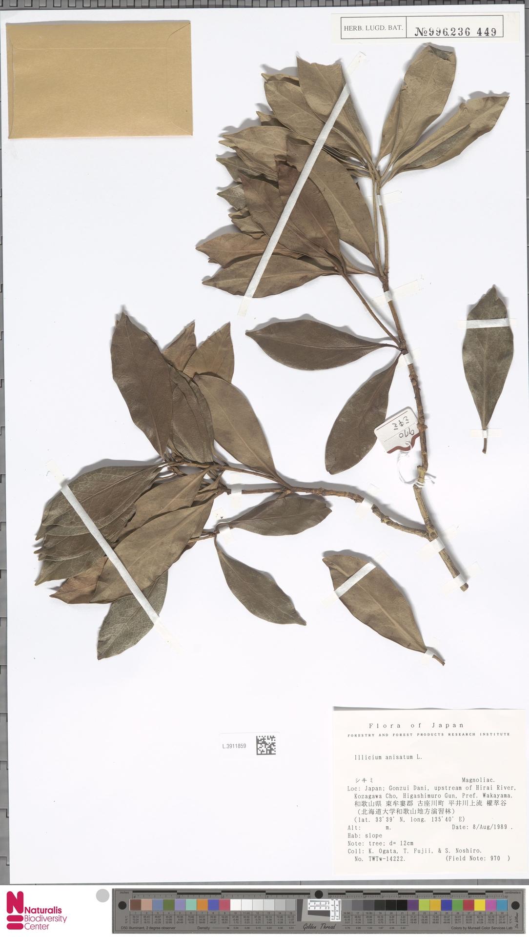 L.3911859 | Illicium anisatum L.