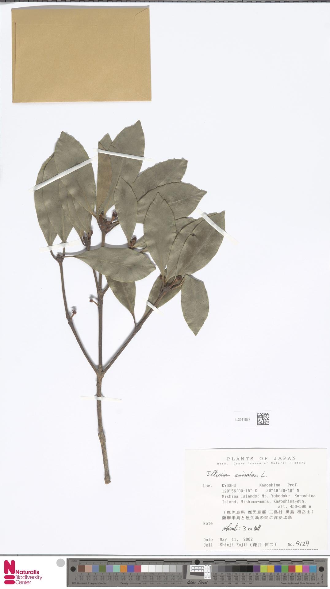L.3911877 | Illicium anisatum L.