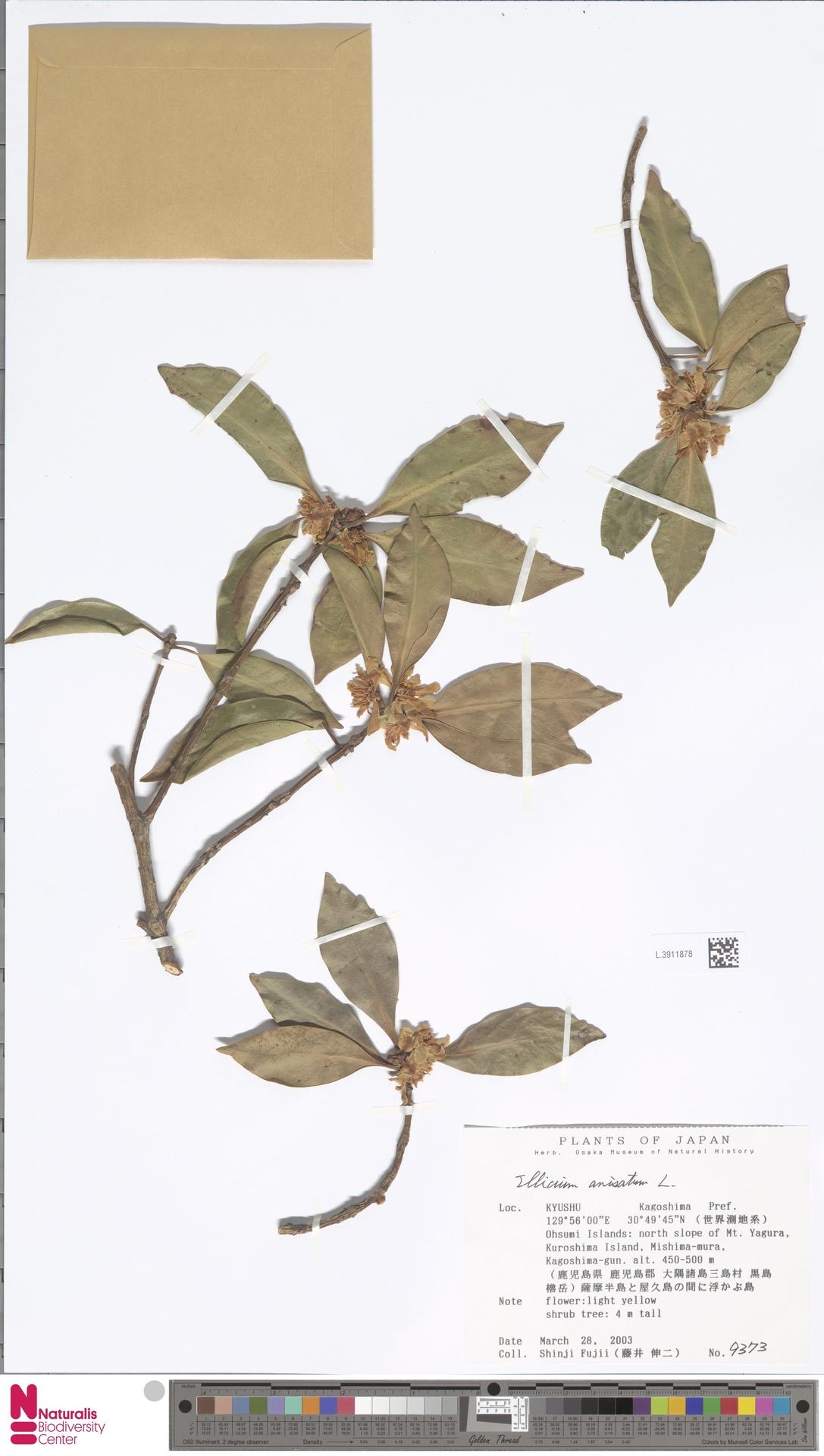 L.3911878 | Illicium anisatum L.
