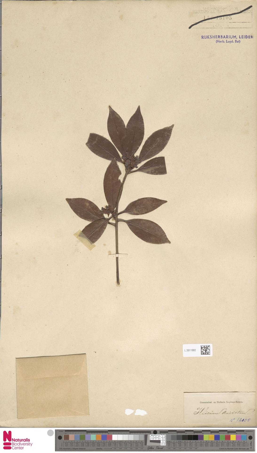 L.3911882   Illicium anisatum L.