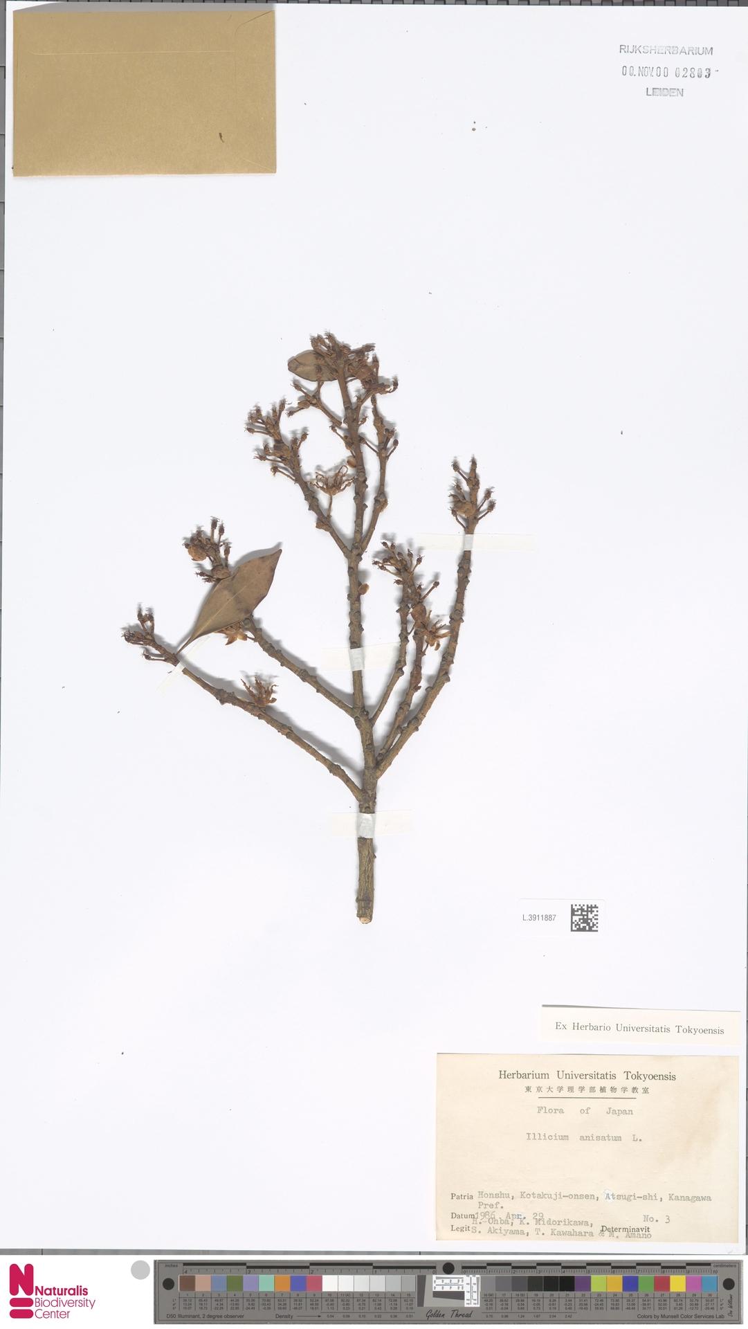 L.3911887 | Illicium anisatum L.
