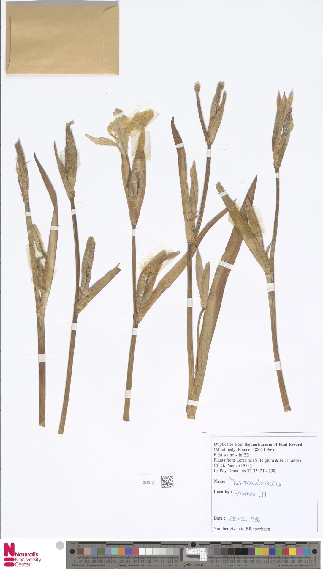 L.3912156 | Iris pseudacorus L.
