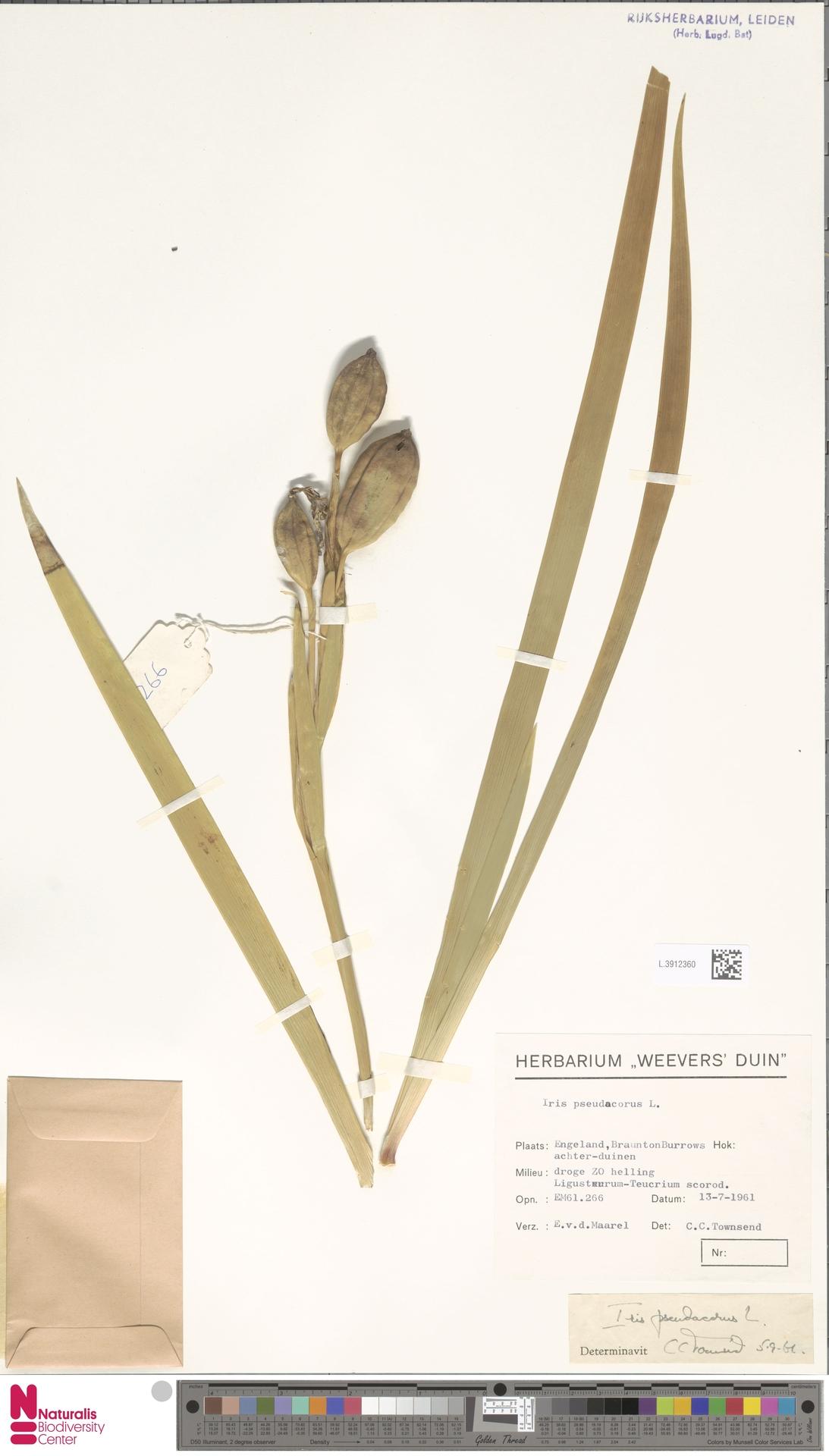 L.3912360 | Iris pseudacorus L.