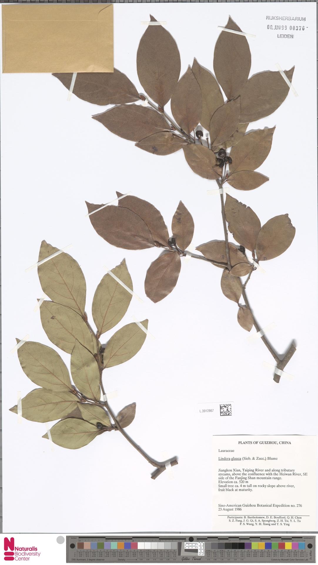 L.3912867 | Lindera glauca Blume