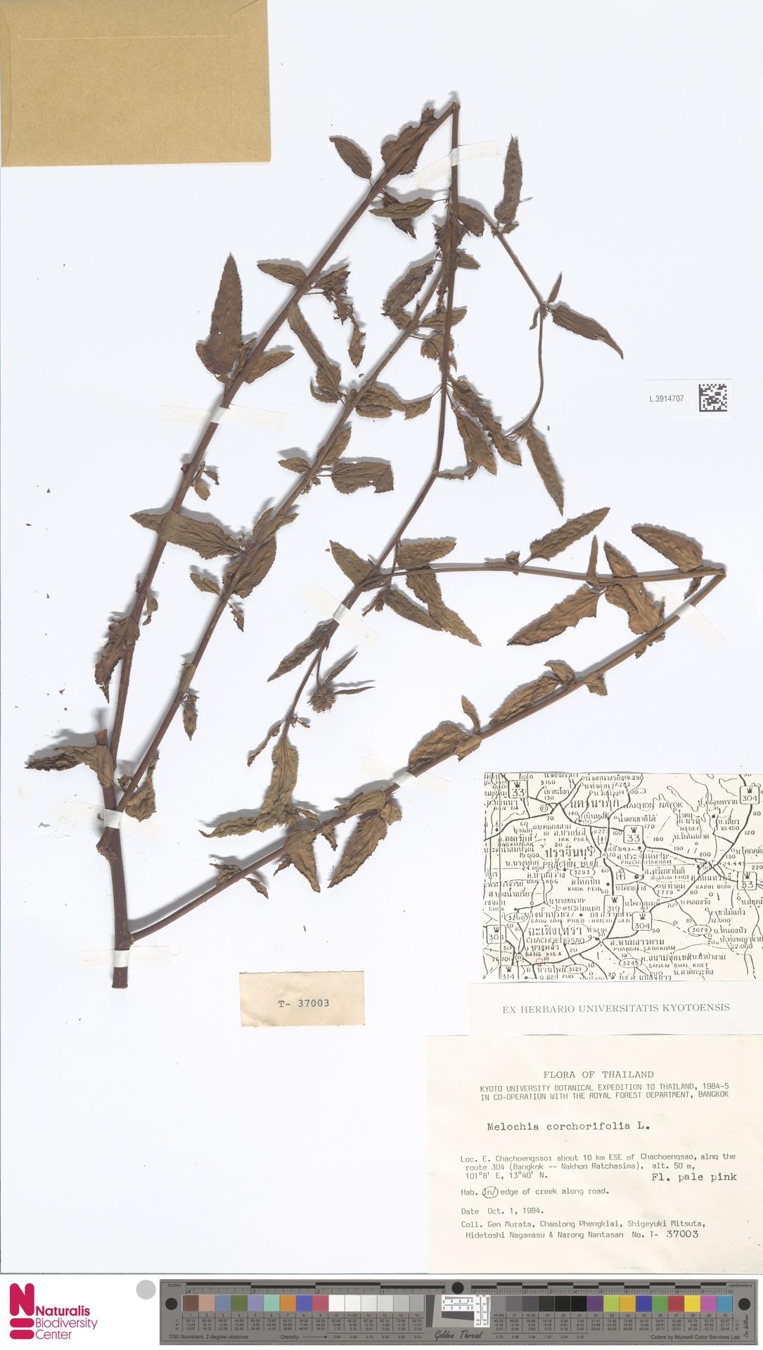 L.3914707 | Melochia corchorifolia L.