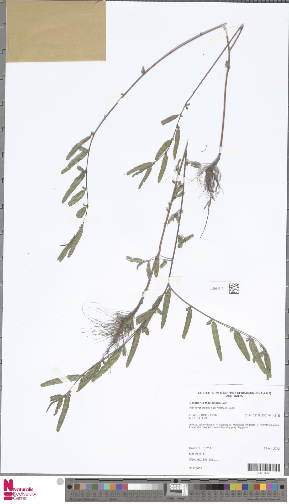 L.3914719 | Corchorus fascicularis Lam.