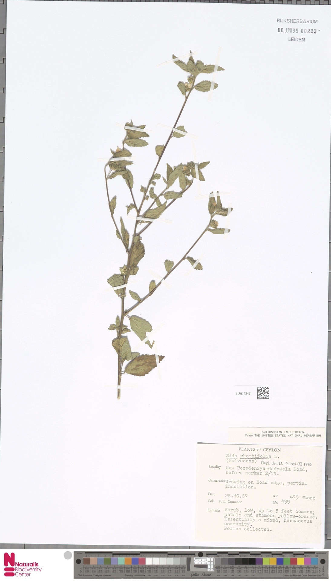 L.3914847   Sida rhombifolia L.