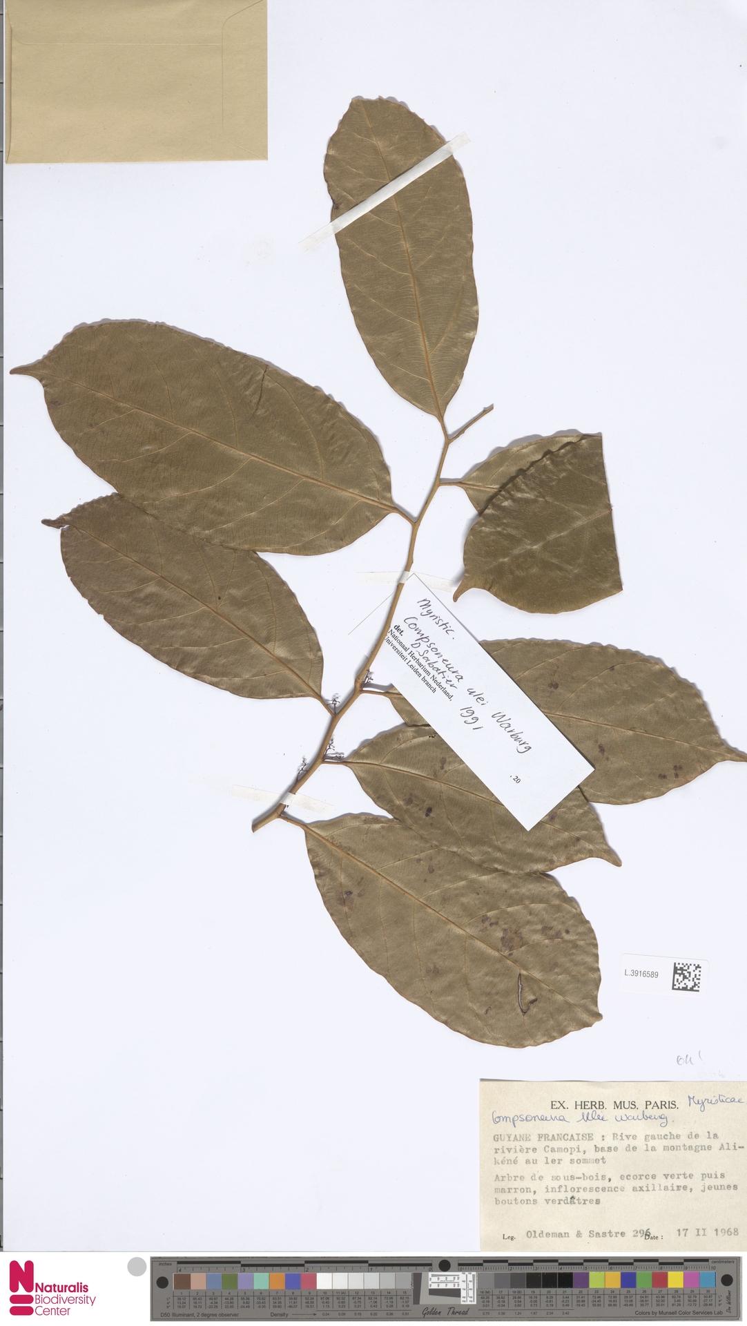 L.3916589 | Compsoneura ulei Warb.
