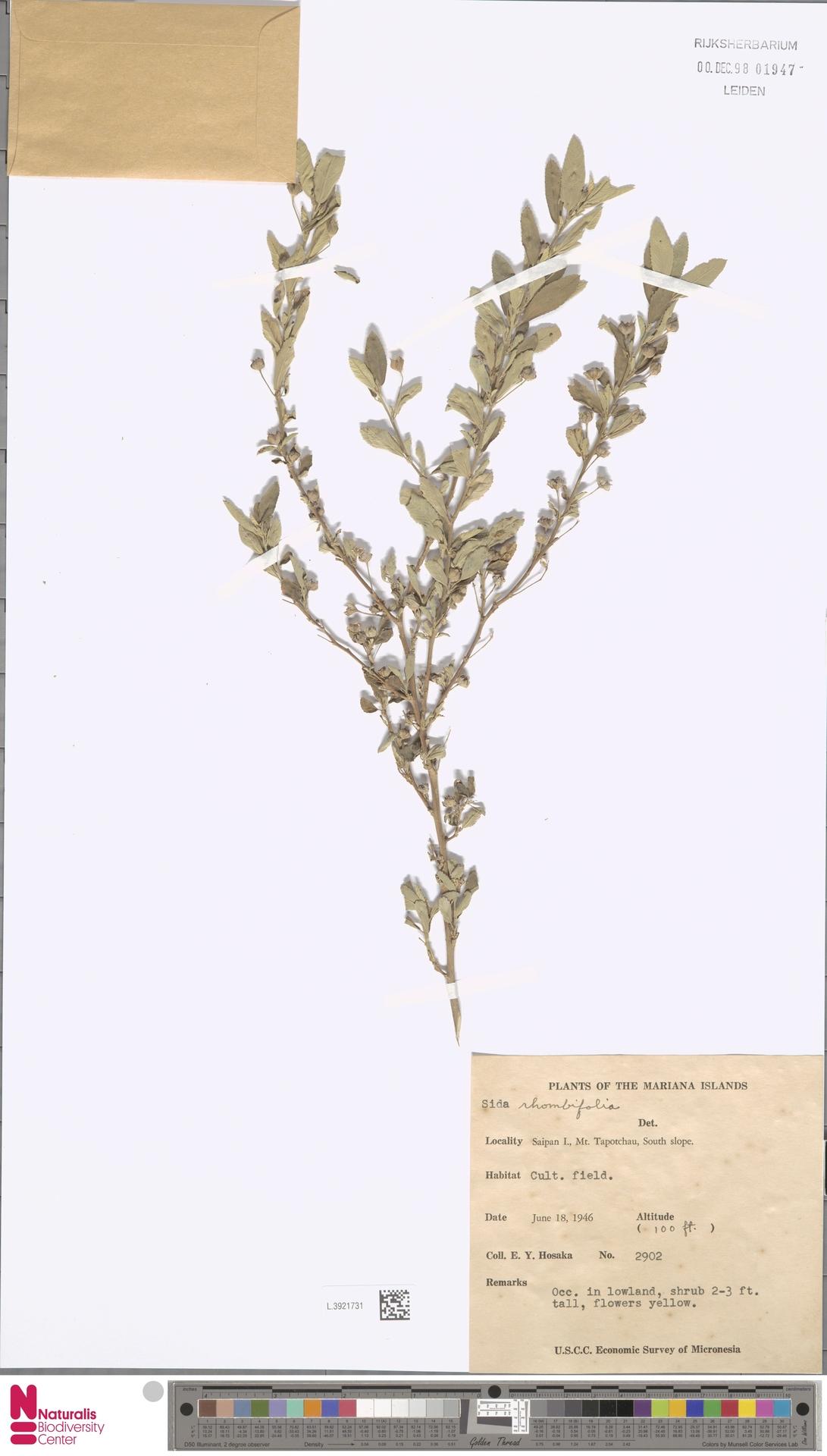 L.3921731 | Sida rhombifolia L.