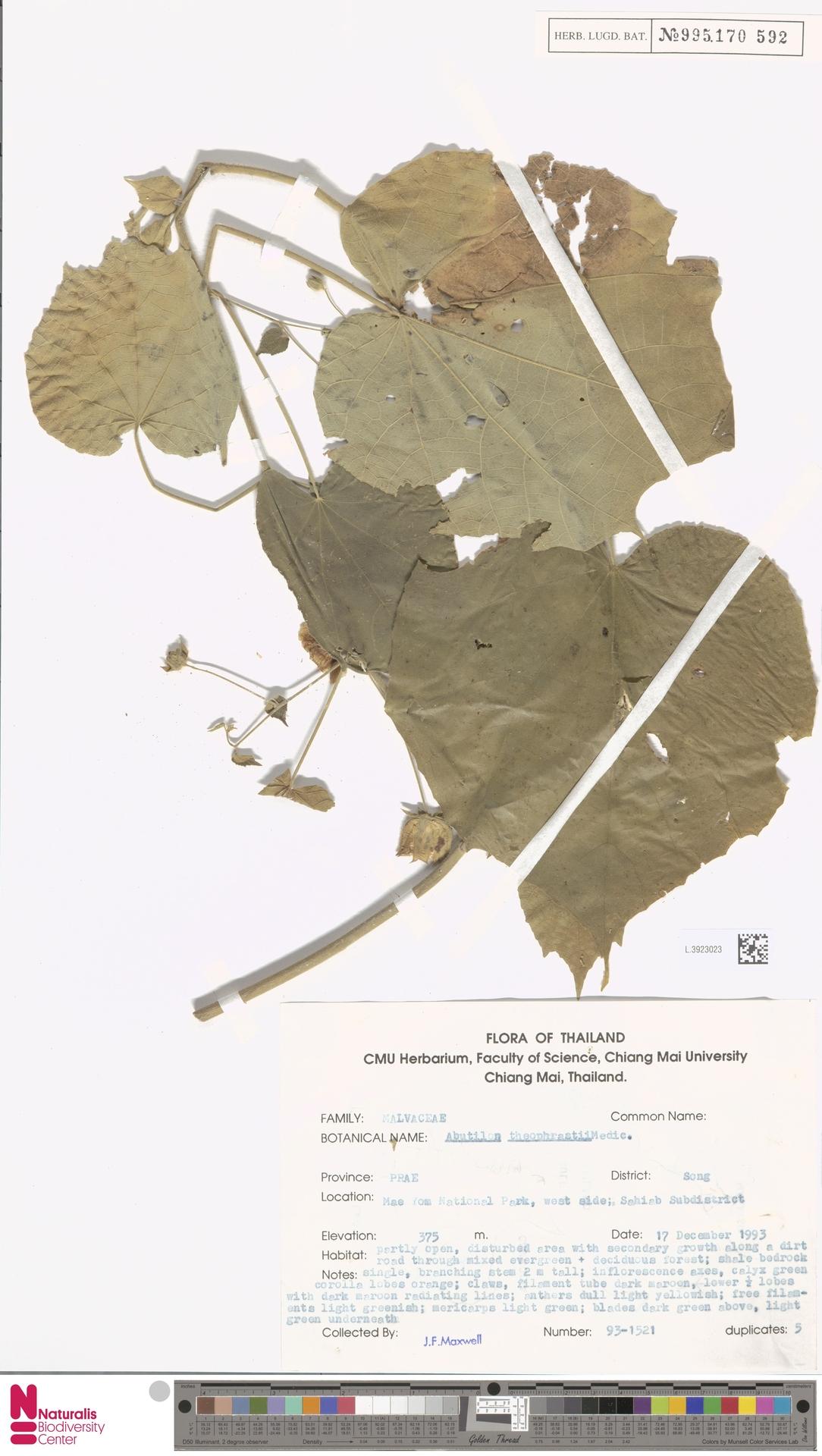 L.3923023 | Abutilon theophrasti Medik.