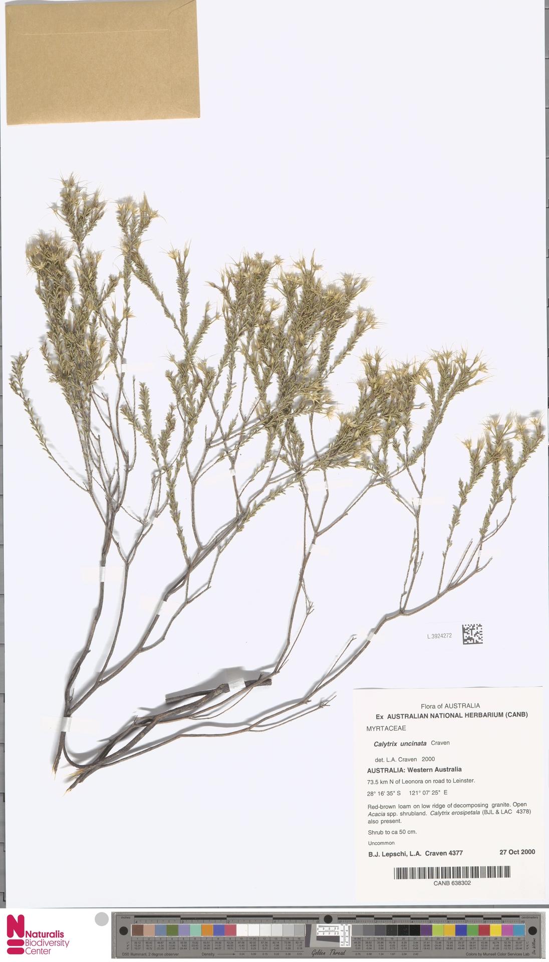 L.3924272 | Calytrix uncinata Craven