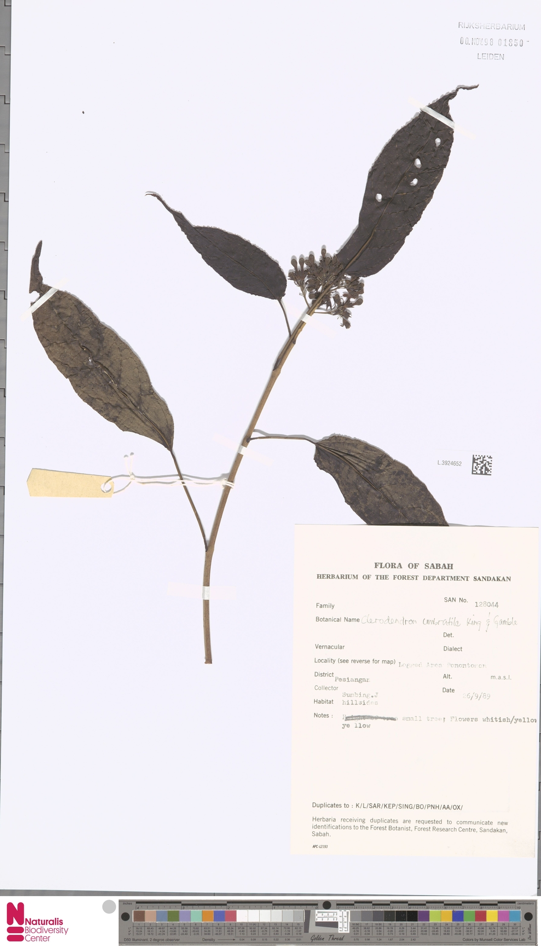 L.3924652 | Clerodendrum umbratile King & Gamble