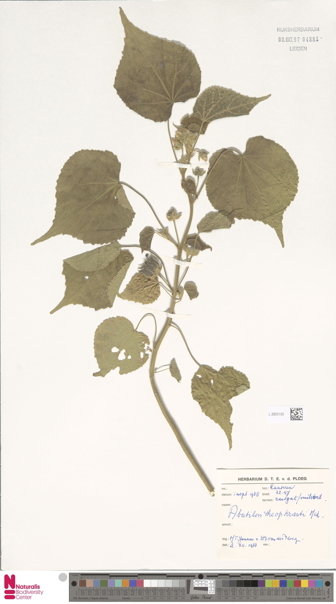 L.3925150 | Abutilon theophrasti Medik.