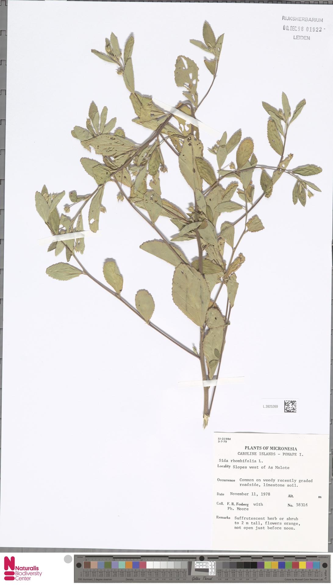 L.3925269 | Sida rhombifolia L.