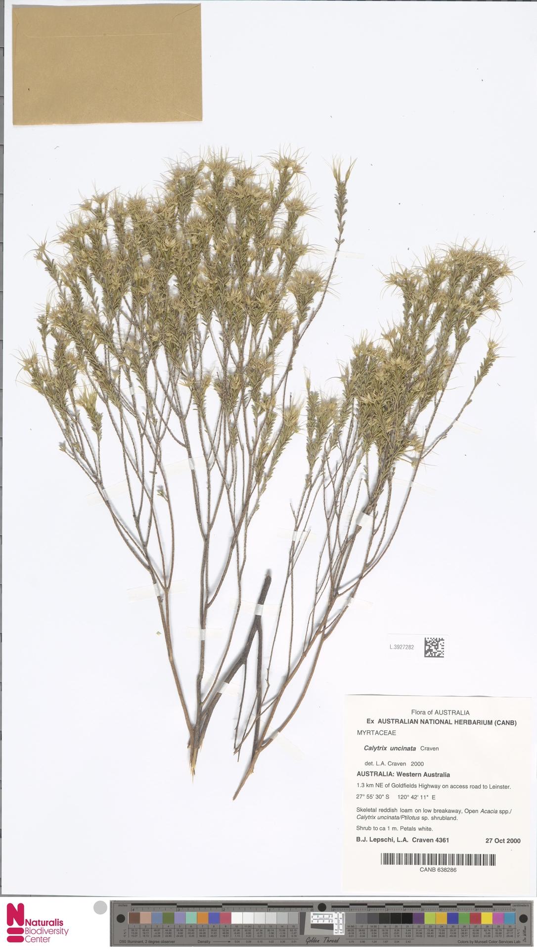 L.3927282 | Calytrix uncinata Craven