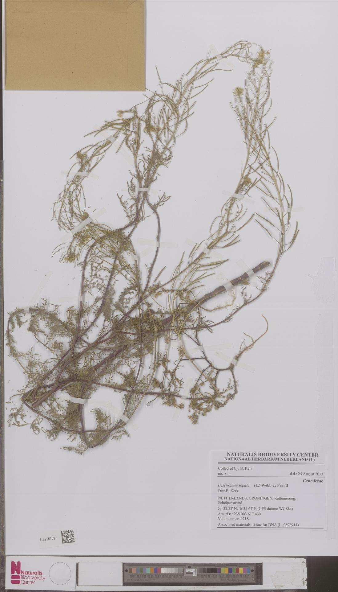 L.3955152   Descurainia sophia (L.) Webb ex Prantl