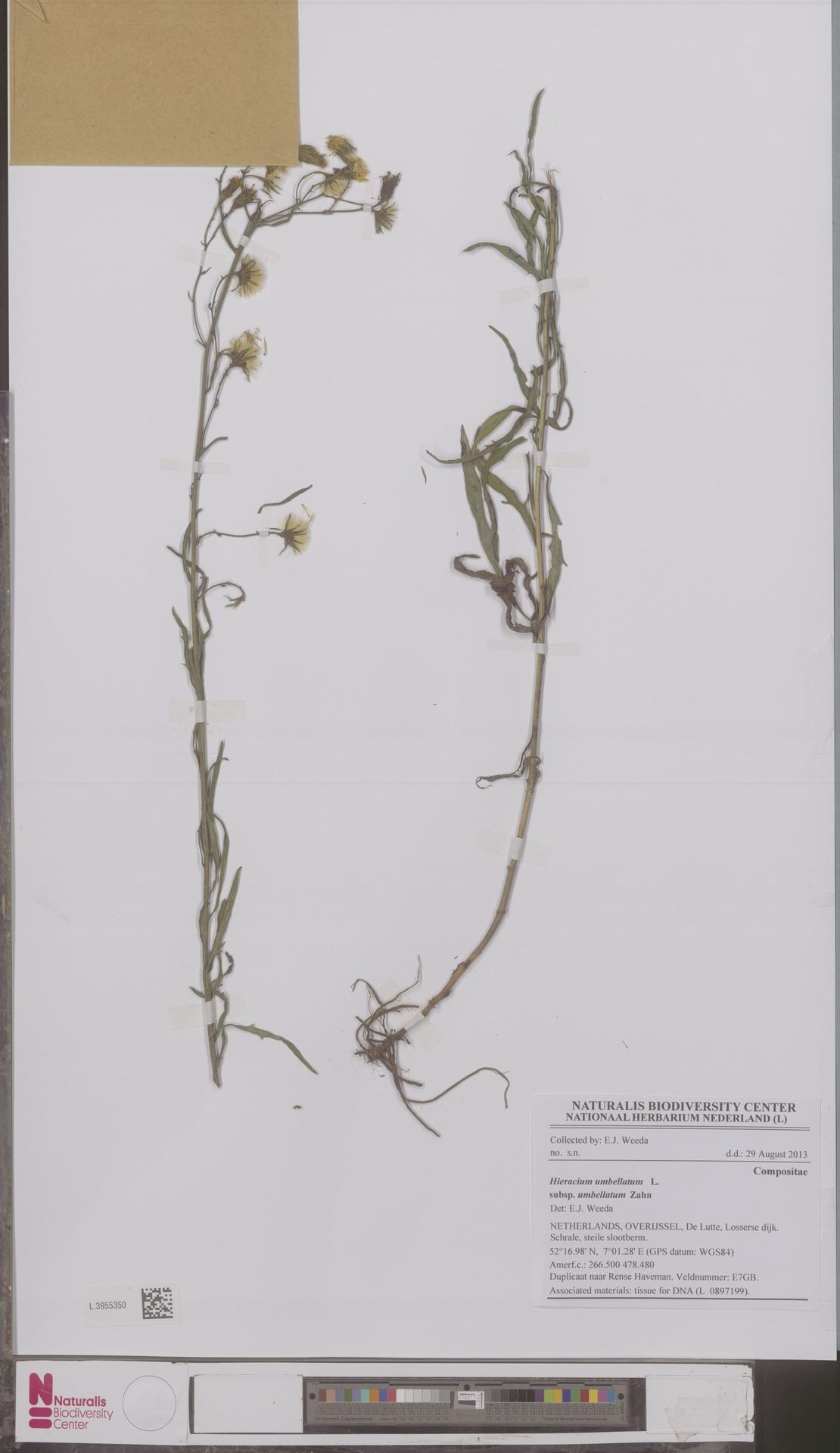 L.3955350 | Hieracium umbellatum subsp. umbellatum Zahn